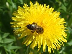 Taraxacum officinale, Apis DSCF3487_edited (aorg1961 stalked by Suipixel) Tags: polska polen biene apis bechatw taraxacum lwenzahn taraxacumofficinale mlecz pszczoa mniszek mniszeklekarski mniszekpospolity