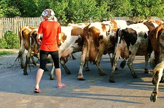 Viehtrieb, Rckkehr ins Dorf (blacky_hs) Tags: boy woman feet girl bar cow milk dorf cattle bare stall ukraine dirty barefoot cowgirl idyll fuss milch landleben fus ukrajina rinder herde barfota barfeet flickraward viehtrieb barfus mygearandme
