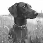 Labrador, Vizsla Mix - Aeon thumbnail