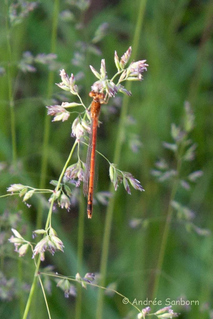 Eastern Red Damselfly (Amphiagrion saucium)-2.jpg