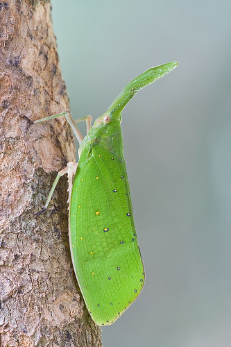 green lantern bug Pyrops shiinaorum shiinaorum IMG_6797 copy