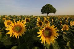 Aux soleils (photosenvrac) Tags: soleil photo paysage arbre tournesol