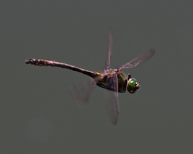 downy emerald in flight side 2