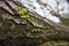 New Growth (DMeadows) Tags: park new wood tree nature outdoors scotland growth bark shoots eglintonpark irvine ayrshire eglintoncountrypark davidmeadows dmeadows davidameadows dameadows yahoo:yourpictures=yourbestphotoof2012