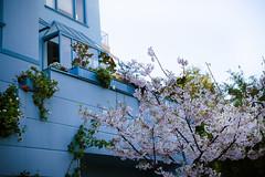 all my colours (her.self) Tags: sf sanfrancisco california city blue usa spring blossom thecity thegoldencity