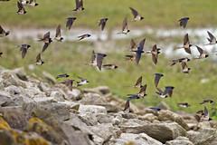 _MG_0039 Mostly Swallows (Hirundo rustica) Draycote Water, Warwickshire 02May12 (Lathers) Tags: swallow hirundorustica stw draycote draycotewater canon7d canonef500f4lisusm 02may12