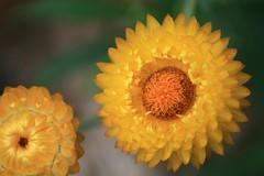 untitled (loobyloo55) Tags: flower nature canon flora sydney australia nsw floraandfauna australianwildlife canoneos400d thebotanicalgardenssydney