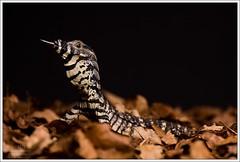 Varanus varius (Thor Hakonsen) Tags: dragon reptile lizard varan reptilia varanidae squamata lacemonitor varanusvarius