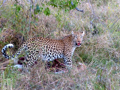 Leopard dragging its kill (WRFred) Tags: africa nature wildlife leopard bigcat botswana carnivore linyantiswamp