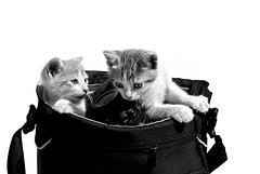 do not leave photography bags unattended (brescia, italy) (bloodybee) Tags: bw white cute animal cat bag lens fun photography nikon kitten feline humo