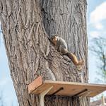 Tree Squirrel thumbnail