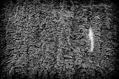 Vegina - 20 Kes/June 2014 (mazahito) Tags: blackandwhite bw monochrome leaves suomi finland blackwhite leaf vegetation matti mustavalko lehti 145 lehdet mustavalkoinen vegina ollikainen 145a kasvillisuus mattiollikainen mazahito