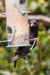 Starling-8953 (WendyCoops224) Tags: canon eos spring feeding starling busy agile bejewelled 70d 100400mml localwoodland