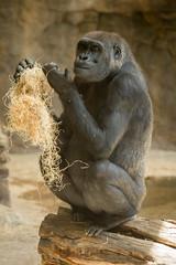 2014-05-06-12h50m36.BL7R7092 (A.J. Haverkamp) Tags: barcelona zoo spain gorilla muni spanje dierentuin westelijkelaaglandgorilla canonef100400mmf4556lisusmlens pobbarcelonaspain httpwwwzoobarcelonacat dob19122000