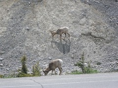 Rockies (FabienA380) Tags: bear brown snow canada black mountains car restaurant nationalpark jasper traffic cows pentax britishcolumbia wildlife lakes bulls american alberta roadsign optio elk ontheroad mountaingoat bighornsheep skywalk lanscapes fabien spotter grizzli wg1 couratier fabiencouratier