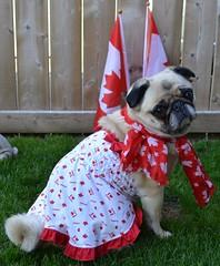 Canada Day Pug (DaPuglet) Tags: dog pets holiday canada dogs puppy costume lol pug pugs canadaday pugpuppy pugcostume
