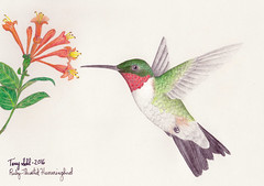 Ruby-throated Hummingbird - Drawing (Terry Sohl) Tags: ruby throated hummingbird rubythroated archilochus colubris draw drawing art color pencil terry sohl honeysuckle