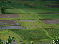 The Taro Fields (jimmywayne) Tags: hanalei hawaii kauaicounty kauai landscape taro hanaleivalley