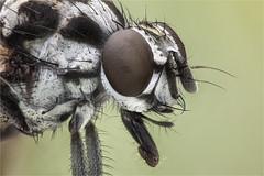 Anthomya Pluvialis. Anthomyiidae (dorolpi) Tags: