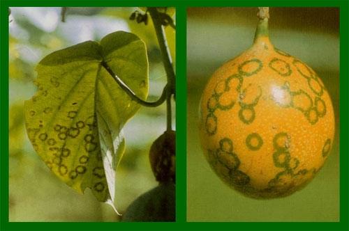 Granadilla (Passiflora ligularis)