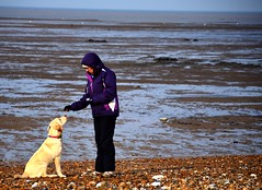 I will take that biscuit, thank you kindly (aims121) Tags: dog dogs water yellow stone walking bay sand lab labrador stones walk molly mum sit doggy treat hampton doggies doggie herne walkies hernebay doggys