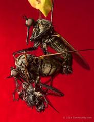 Empis tessellata mating (tomhouslay) Tags: cambridge macro mating romanroad behaviour dancefly empididae danceflies nuptialgift empistessellata