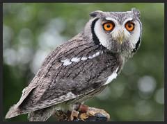 White Faced Skops Owl. (konstantynowicz) Tags: owl skops whitefacedskopsowl