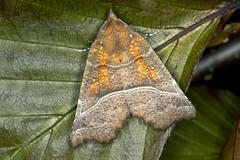 Flikfly Scoliopteryx libatrix (Eivind Nielsen) Tags: lepidoptera scoliopteryx libatrix flikfly