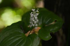 DSC_2524 (Shadows vines) Tags: flowers wild white plant macro green forest nikon bokeh national olympic d800 105mm nikkor105mmf28gvrmicro