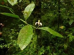 Flower (Ecuador Megadiverso) Tags: naturaleza flower macro southamerica nature fleur ecuador flora wildlife natur flor equateur blume makro fiore golondrinas equador biodiversity biodiversidad sdamerika neotropical neotropics andreaskay