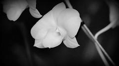 Flores Vol. 1 (Luz Adriana Villa A.) Tags: bw flores blanco nikon y negro flor jardin pajaros botanico medellin orquideas opf luza 2013 luzadrianavilla luzavilla d3100