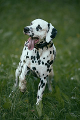 wait (Bea Burin-Herbst   Fotografie) Tags: portrait dog pet pets dogs animal june canon eos action outdoor wiese hund dalmatian hunde snape tier rde dalmatiner petphotography tierfotografie 200l petphotographer 5dmarkiii haustierfotografie petspetphotography burinherbstphotography