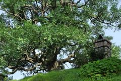 Bilbo's tree (chestnutgrey) Tags: trees newzealand tree canon april movieset tolkien bilbo peterjackson jrrtolkien thehobbit hobbiton anzacday 2014 bagend thelordoftherings canoneos550d chestnutgrey sarahoettli april2014 25april2014 hopesvisit2014 bilbobagginsofbagend