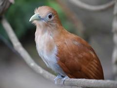 P2230282 (Gareth's Pix) Tags: aviarionacionaldecolombia baru colombia aviario bird