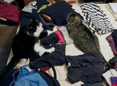 George and Nadine finally lay close to each other on purpose on our clean laundry (benchilada) Tags: cat kitty kittymao george nadine finally lay close each other purpose our clean laundry lordfloofington lord floofington thenewnumbertwo majisterofthevillage