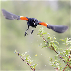 Defend and attack (NaPix -- (Time out)) Tags: nature action wildlife flight attack blackbird redwinged agelaius phoeniceus fromwikipediaandwikimedia