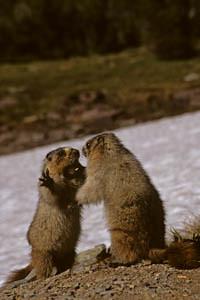 marmots boxing
