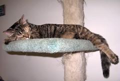Momo's Sweet Dreams (elycefeliz) Tags: sleeping cats momo nap kittens gatos viva katzen friendsofzeusphoebe