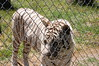 DSC_0149 (JSleeper) Tags: oregon whitetiger greatcatsworldpark