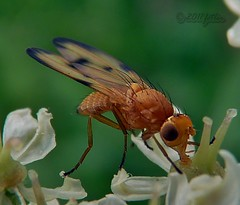Stem Boring Fly/Cereal Fly (Opomyza florum) (fetler2002) Tags: macro bug insect lumix fly wings stem bokeh boring panasonic flies creepycrawly burrow opomyza florum winnerstop dmcfz35 universeofnature5 universeofnature7 universeofnature10 flycereal