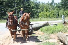 img_0972 (highest_vision) Tags: horse suffolk logging punch hemlock draft deepgap westernnorthcarolina sustainableforestry draftwood restorativeforestry
