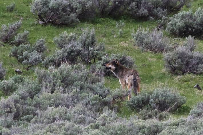 061311_wolf02