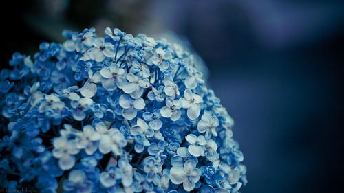14335 Hydrangea2011 #1