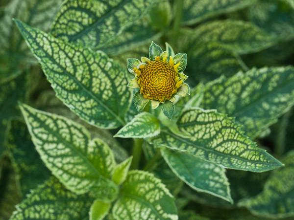 'Loraine Sunshine' Variegated Foliage