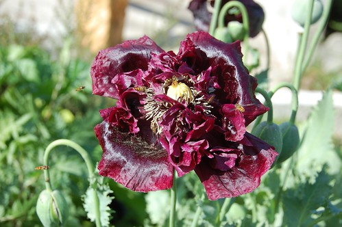 black poppy with hoverflies