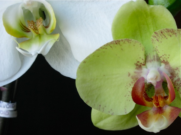 green blooming phalaenopsis orchid 003