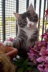 You got me! (oizys) Tags: animal cat kitten chat maine coon mainecoon felino gatto animale katz cucciolo gattino morgana