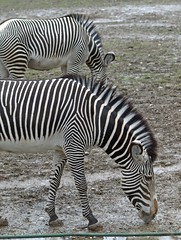 Augsburg Zoo (emmendinger) Tags: bear brown zoo rind asien flamingo lion ziege afrika emu lama pelikan giraffe enten vgel elefant robbe mandrill nandu augsburg loris ursus giraffa braunbr lwe biber papiohamadryas erdmnnchen schaf schwne knguru schimpanse hyaena seehund wasserbffel schlangen pantheraleo reptilien suricata amphibien alpensteinbock alpaka chrysocyonbrachyurus grevyzebra onager primaten seebr braunbaer breitmaulnashorn sugetiere arctos capraibex mandrillussphinx ceratotherium equusgrevyi mhnenwolf rothschildgiraffe bubalusbubalis mantelpavian nattern bennettknguru vipern guanicoe streifenhyne 06042012