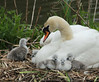 A New Family (alison brown 35) Tags: uk wild brown nature water birds pen canon photography spring swan nest dam wildlife ngc young may 300mm npc 7d alison cob 35 mute f28 sthelens cygnets 2012 14x carrmill specanimal sigmaex