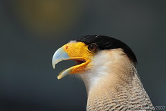 Schopfkarakara (Caracara plancus) (hellboy2503) Tags: portrait orange bird nature birds canon germany deutschland photography tiere fly photo top air natur adler feathers photographers images gelb raptor 7d getty grn blau creatures vgel landschaft wald weiss luft raubvogel tier vogel gettyimages uhu jrg kreatur fliegen geier greifvgel flieger beute jger eulen federn sperber 100400 thegalaxy gefieder burgguttenberg schopfkarakara gettyimagescallforartists gettyimagesartistpicks hellboy2503 httpwwwgreifenwartede allofnatureswildlifelevel1 rememberthatmomentlevel4 rememberthatmomentlevel1 rememberthatmomentlevel2 rememberthatmomentlevel3 rememberthatmomentlevel7 rememberthatmomentlevel9 rememberthatmomentlevel5 rememberthatmomentlevel6 rememberthatmomentlevel8